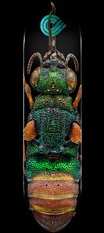 Powell Peralta BISS Ruby Tailed Wasp Blem Skateboard Deck - Shape 244 - 8.5 x 32.08
